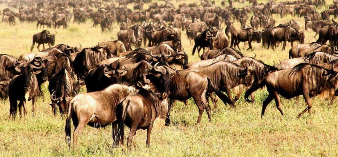 Wildebeest Migration Wildlife Safaris