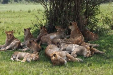 13 Days Masai Mara Serengeti Gorilla Adventures