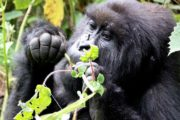 3 Day Gorilla Trekking Adventure Safari