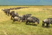 7 Days Serengeti Wildebeest Migration Safari Holiday