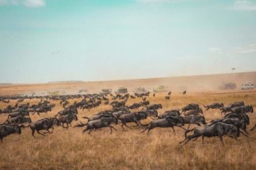 7 Days Serengeti Wildebeest Migration Safari Holiday5