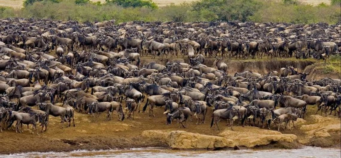 Africa Wildebeest Migration Safari