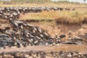 8 Days Wildebeest Migration Spectacle Safari